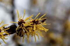 Flower of a Chinese witch hazel Royalty Free Stock Images