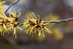 Flower of a Chinese witch hazel Stock Images