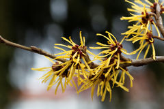Flower of a Chinese witch hazel Royalty Free Stock Photo