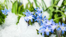 Flower Chionodoxa in the snow. Blue flower Chionodoxa  also known as glory-of-the-snow covered with snow after snowfall in the spring Stock Images