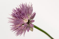 Flower of chive. Detailed view of chive flower isolated over white background Stock Photography