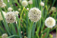 Flower chive. Royalty Free Stock Images
