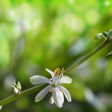 Flower Chlorophytum Stock Images