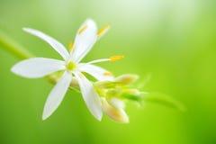 Flower Chlorophytum Royalty Free Stock Image