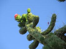 Flower on Cholla Cactus. Pink cholla cactus flower against blue sky Royalty Free Stock Image