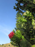 Flower on Cholla Cactus. Pink cholla cactus flower against blue sky Stock Photography