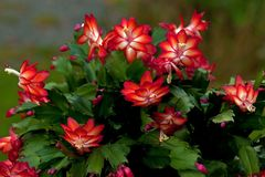 Free Flower Christmas Cactus. Schlumbergera Truncate Red Royalty Free Stock Images - 142803159