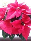 Christmas Flower Stock Photos