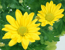 Flower of a chrysanthemum Stock Photography
