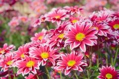 Flower chrysanthemum Royalty Free Stock Image