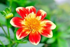 Flower chrysanthemum Royalty Free Stock Photos