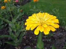 Flower. The Chrysanthemum Flower Stock Photography