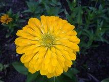 Flower. The Chrysanthemum flower Royalty Free Stock Image