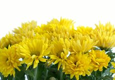 Flower Chrysanthemum Royalty Free Stock Photo