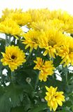 Flower Chrysanthemum stock images
