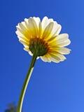 Flower chrysanthemum Royalty Free Stock Photography