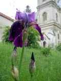 A flower and a church. A purple flower with a monastery on background stock photos