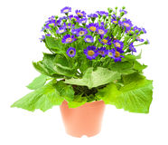 Flower cineraria in pot isolated on white Royalty Free Stock Photography