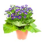Flower cineraria in pot isolated on white Stock Images
