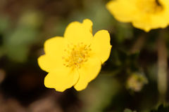 Flower of the Cinquefoil Potentilla pusilla Stock Photos