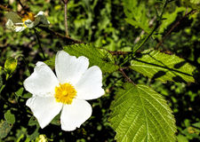 Flower of cistus Stock Image