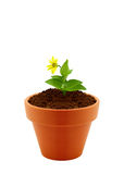 Flower in clay pot Stock Images