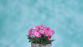Flower. Clay pots are planted pink flowers on a wicker chair in green wall painted background Stock Image