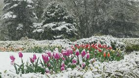 On the flower clearing in the park it`s snowing. In the park on a flower meadow, planted with tulips, it`s snowing stock video