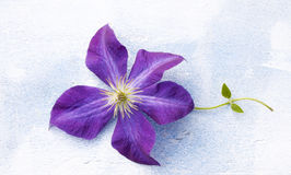 Flower clematis a bright lilac color. On white-blue background Royalty Free Stock Images