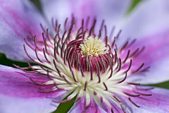 Flower of clematis. Closeup, macro Royalty Free Stock Images