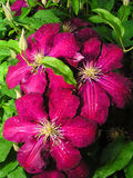 Flower clematis Royalty Free Stock Image