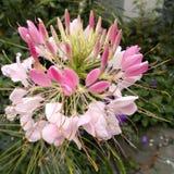 Flower cleome spinosa 1. Flower cleome spinosa in the garden Royalty Free Stock Photography