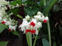 Clerodendrum thomsoniae - bleeding heart. Flower of Clerodendrum thomsoniae - bleeding heart royalty free stock photography