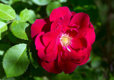 Flower climbing red rose Stock Photo