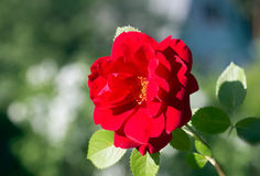 Flower climbing red rose Stock Photography