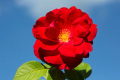 Flower climbing red rose Royalty Free Stock Images