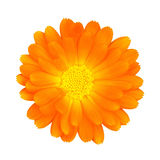 Flower with clipping path. Orange flower with Clipping Path isolated on white background Stock Images