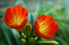 Flower clivia / scarlet kaffir lily Stock Photos