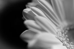Flower close up in black and white. White blossom flower close up in black and white Isolated Black  Background Stock Photos