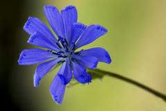 Flower close up of a blue composite Stock Photos