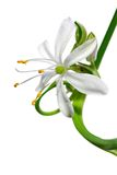 Flower close-up, Chlorophytum. Comosum stock image