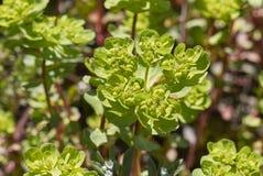 Flower close up of Euphorbia helioscopia. Flower detail of Euphorbia helioscopia plant royalty free stock images