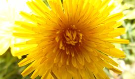 Flower close up. Hear we have a close up photo of a dandelion Stock Images