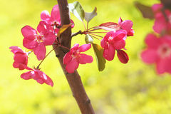 Flower. The close-up of flower of Malus Sparkler Stock Images