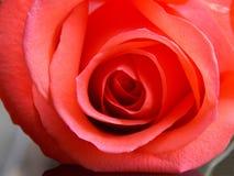 Orange rose. Close up orange rose petal stock images