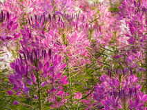 Flower close up. Pink flowers beautiful in garden Stock Photo