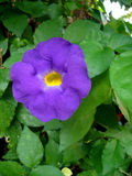 Flower close up. Plant purple flowers with bright yellow center Stock Photos