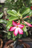 Flower. Close up of red desert rose Stock Image