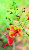 Flower close up-Royal Poinciana or Flamboyant (Delonix regia) Royalty Free Stock Photo