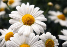 Flower. Close up of a single white daisy Royalty Free Stock Photo